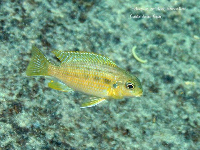 Tropheops sp. 'red cheek' Mitande (samice)