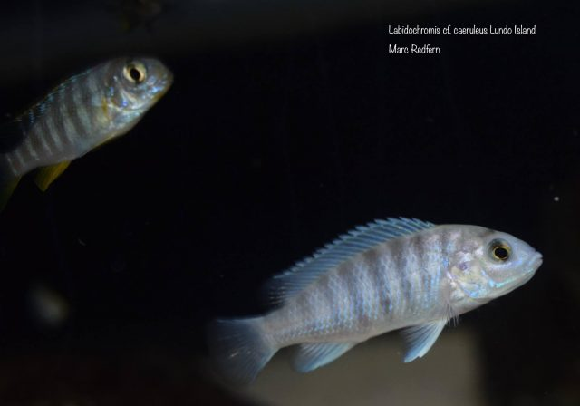 Labidochromis cf. caeruleus Lundo Island