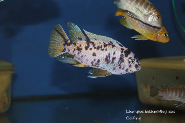 Labeotropheus fuelleborni Mbenji (MC samec)