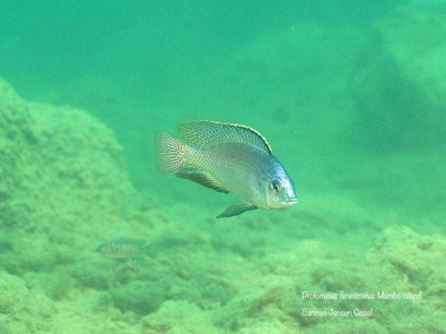 Protomelas fenestratus