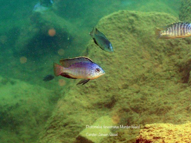 Protomelas fenestratus Mumbo Island