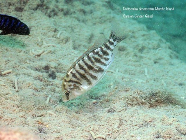 Protomelas fenestratus Mumbo Island (samice)