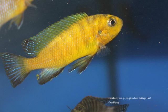 Pseudotropheus sp. 'perspicax hara'(samec)