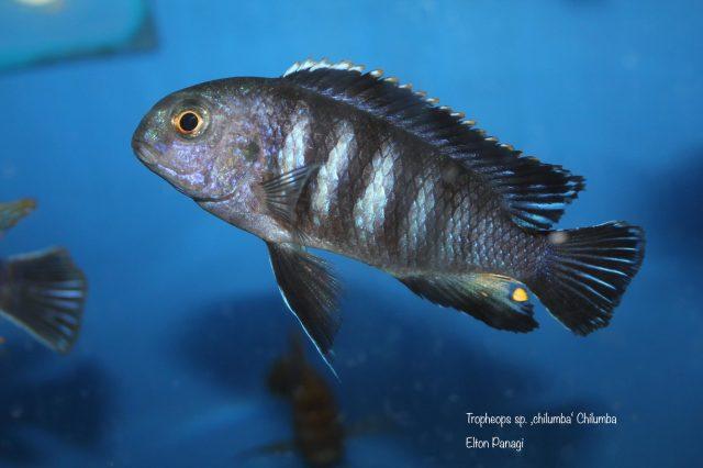 Tropheops sp. 'chilumba' Chilumba