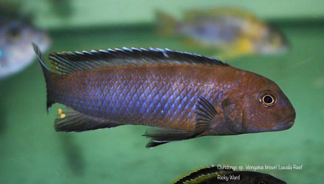 Chindongo sp. elongatus brown' Luwala Reef