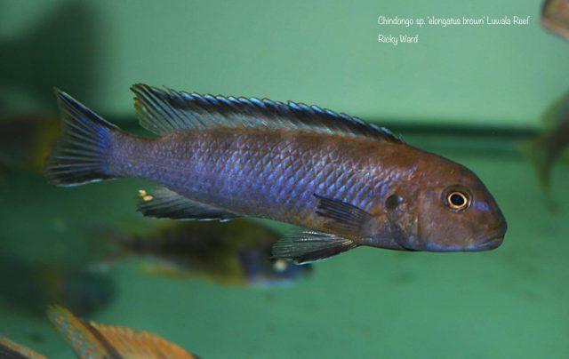 Chindongo sp. ,elongatus brown'