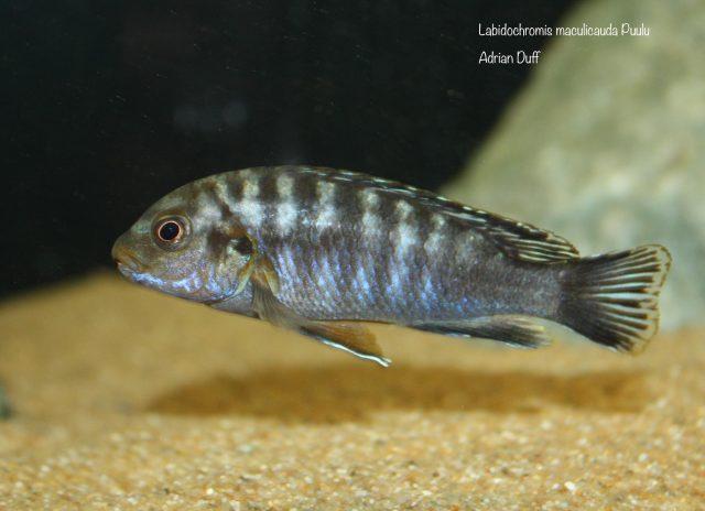 Labidochromis maculicauda (samec)