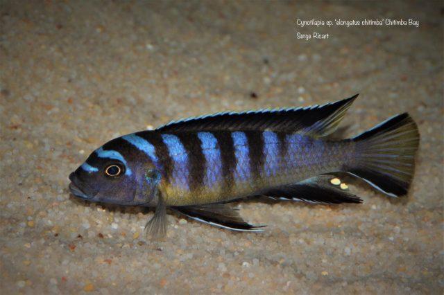Cynotilapia sp. 'elongatus chitimba' Chitimba Bay