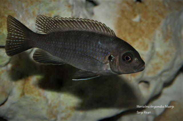 Metriaclima chrysomallos Masinje (samice)