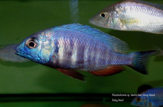 Placidochromis sp. 'electra blue' Hongi Island