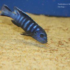 Pseudotropheus sp. 'ndumbi gold'