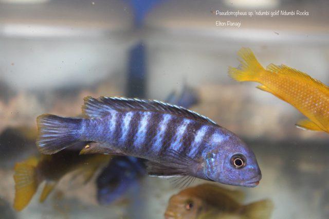 Pseudotropheus sp. 'ndumbi gold' (samec)