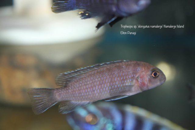 Tropheops sp. ,elongatus namalenje' (samice)
