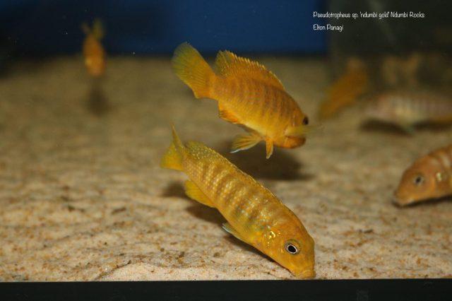 Pseudotropheus sp. 'ndumbi gold' (samice)