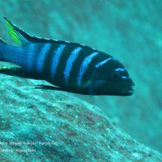 Metriaclima sp. ,elongatus'
