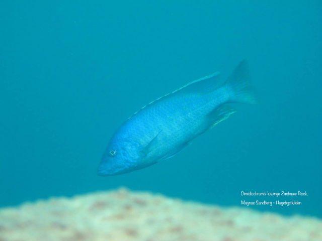 Dimidiochromis kiwinge Zimbawe Rocks