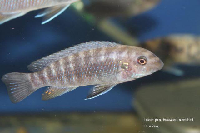 Labeotropheus trewavasae Luwino Reef (samice)