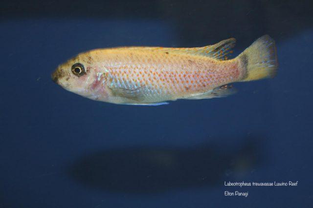 Labeotropheus trewavasae Luwino Reef (O samice)