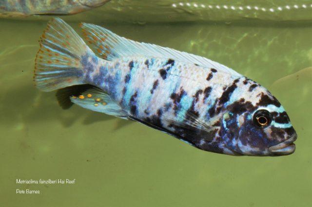 Metriaclima fainzilberi Hai Reef (MC samec)