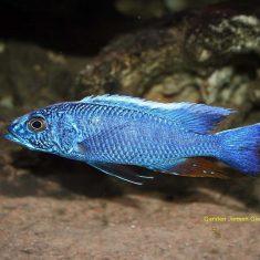 Sciaenochromis fryeri
