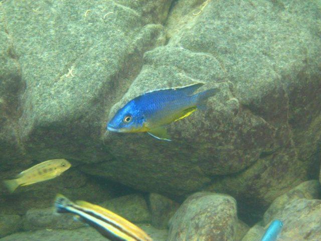 Protomelas sp. 'hertae' Thumbi West Island (samec)