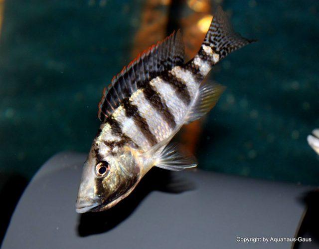 Placidochromis johnstoni (samice)
