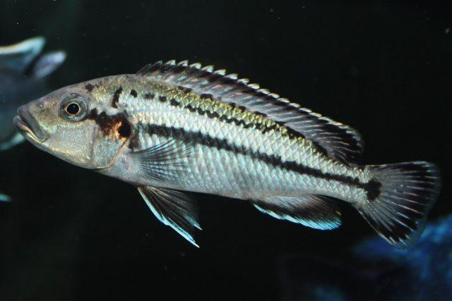 melanochromis lepidiadaptes (samice)