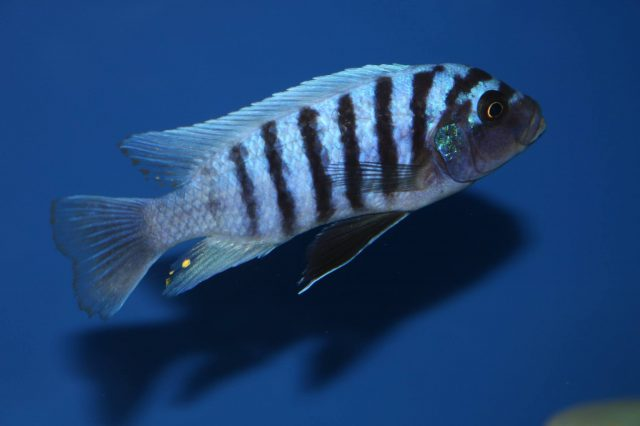 Metriaclima zebra Linganjala Reef(samec)