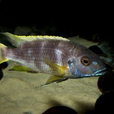 Pseudotropheus livingstonii