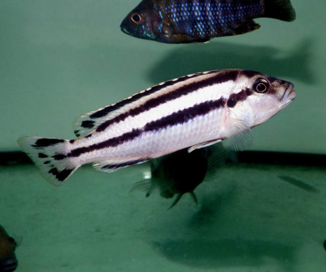 Melanochromis loriae (samice)
