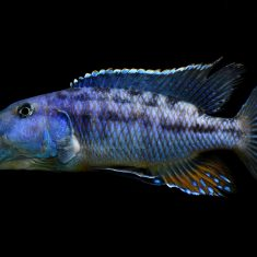 Tyrannochromis macrostoma