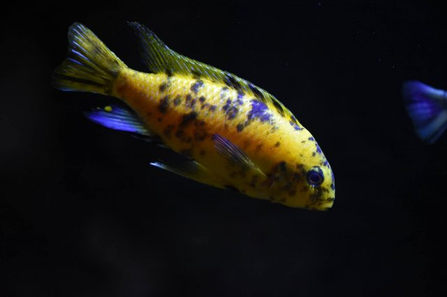 Tropheops tropheops Makokola Reef(MC samec)