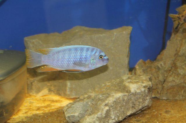 Labeotropheus fuelleborni (18)