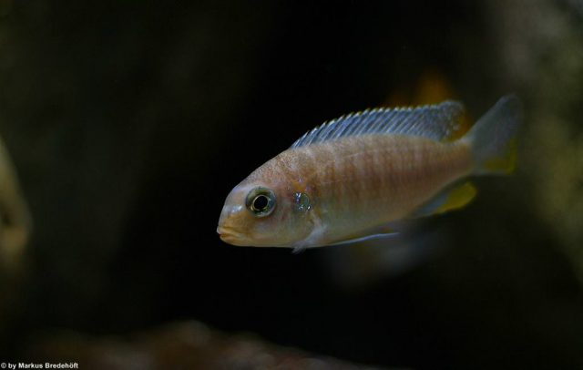Tropheops sp. 'membe' (samice)