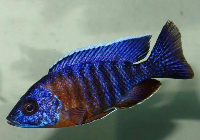 Aulonocara stuartgranti Minos Reef (samec)