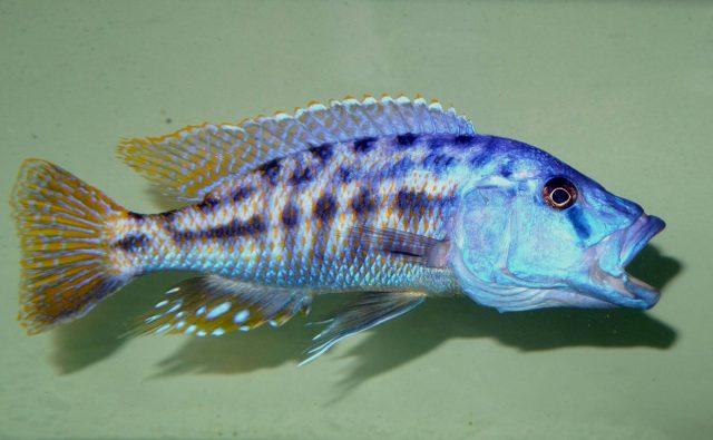 Tyrannochromis nigriventer (samec)