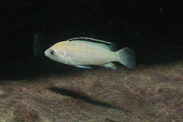 Labidochromis caeruelus Nkhata Bay (samice)