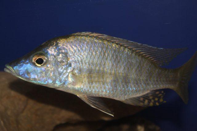 Aulonocara rostratum Chimwalani Reef (samec)