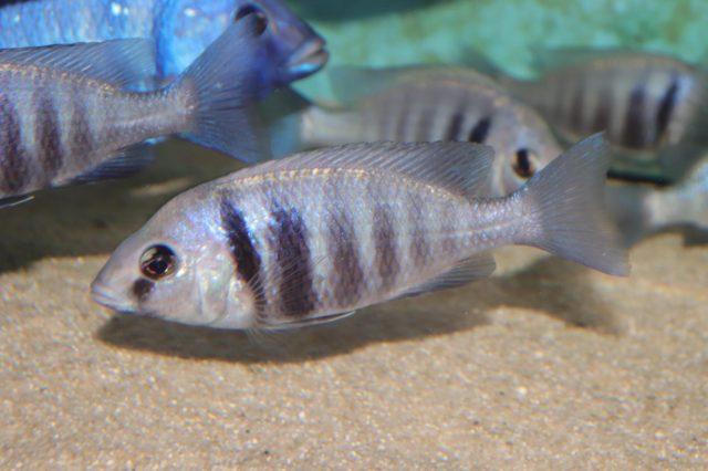 Placidochromis sp. 'phenochilus tanzania' (samice)