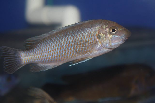 Labeotropheus simoneae Chirwa Island (standardní samice)