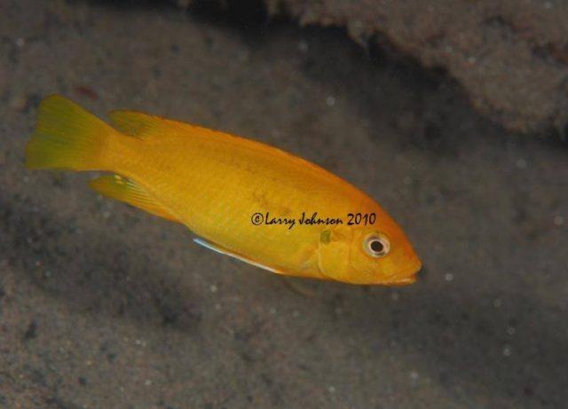 Petrotilapia tridentiger (samice)