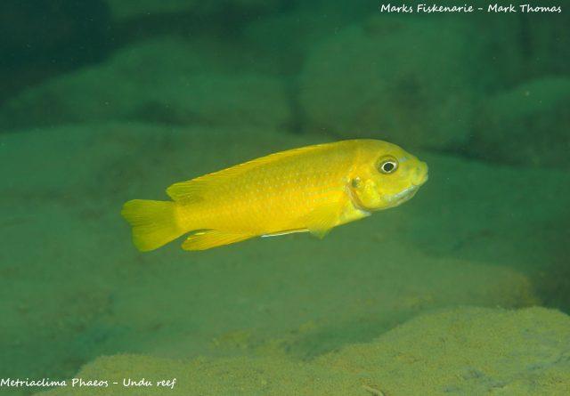 Metriaclima phaeos Undu Reef (samice)