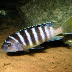 Metriaclima sp. 'zebra'