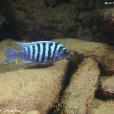 Metriaclima zebra (2)