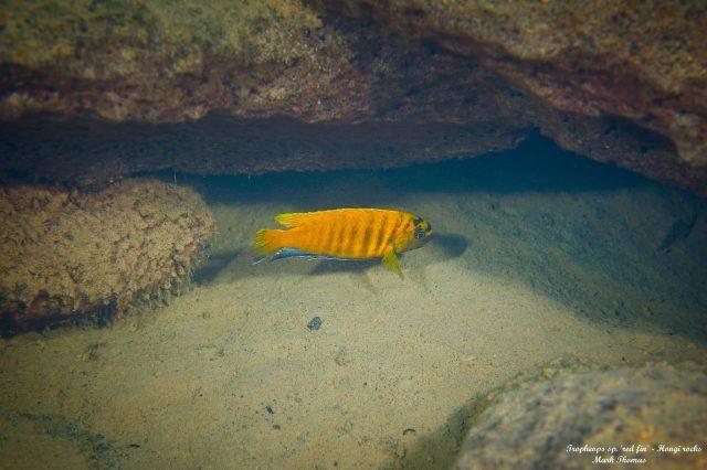 Tropheops sp. 'red fin' Hongi Rock