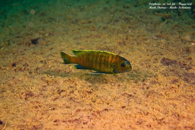 Tropheops sp. 'red fin' Higga Reef (samec)