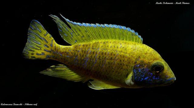 Aulonocara baenschi Nkhomo Reef  (samec)