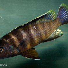 Gephyrochromis sp. ,sand' Londo