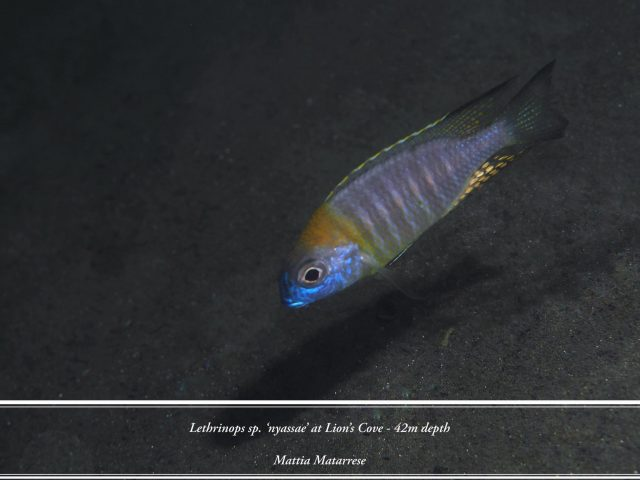 Lethrinops sp. 'nyassae' Lion's Cove