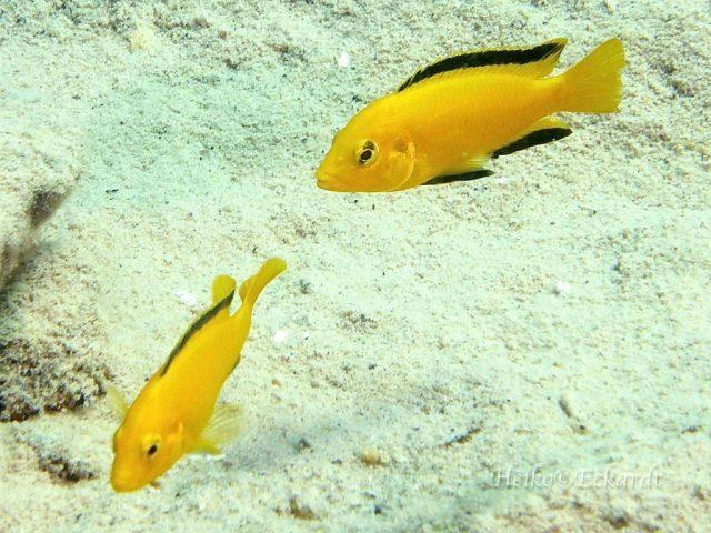 Labidochromis caeruelus Lion's Cove